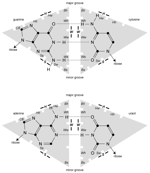 Figure 1: The LW+ base pairing nomenclature. The two canonical Watson-Crick bps and their HBs (dashed lines) are shown (top: G=C; bottom: A-U). The LW nomenclature is schematized by engulfing shaded triangles, where the arcs represent the W, H, and S edges on the four types of bases. In the two bps shown here, the W edges are in contact. Notches along the edges delimit the LW+ faces. The major groove of the A-RNA double helix is toward the H edges, whereas the minor groove is toward the S edges.
